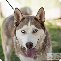 Siberian Husky Dog for adoption in Cedar Crest, New Mexico - Nova