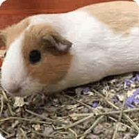 Adopt A Pet :: *Urgent* Pumpkin - Fullerton, CA