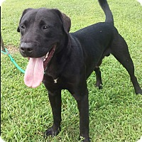 Labrador Retriever Mix Dog for adoption in Paris, Illinois - Toby