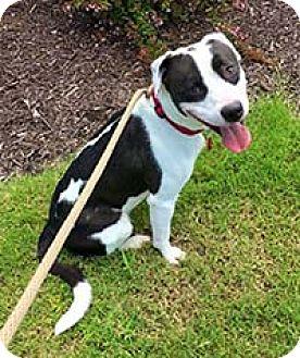 Labrador Retriever/Pit Bull Terrier Mix Dog for adoption in Chantilly, Virginia - Bandit