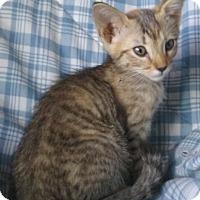 Adopt A Pet :: Belle Rose - Gilbert, AZ