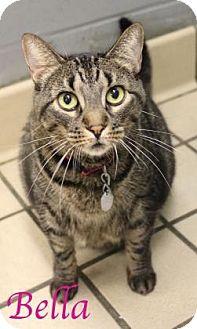 Domestic Shorthair Cat for adoption in Bradenton, Florida - Bella