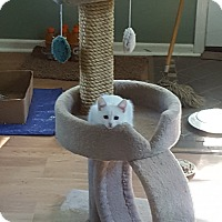 Domestic Mediumhair Kitten for adoption in Warren, Michigan - Kramer (bonded with Jerry)