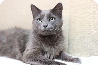 Domestic Mediumhair Cat for adoption in Midland, Michigan - Gavin