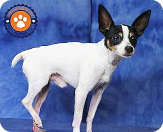 Toy Fox Terrier/Fox Terrier (Toy) Mix Dog for adoption in South Bend, Indiana - Triumph
