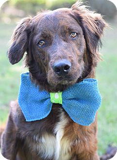 Golden Retriever/Chesapeake Bay Retriever Mix Dog for adoption in Denver, Colorado - Zilla