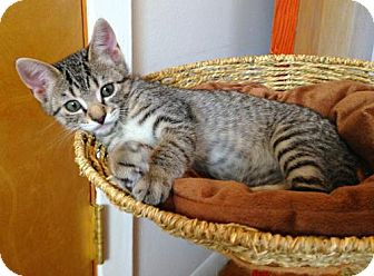 Domestic Shorthair Cat for adoption in East Brunswick, New Jersey - Ada Lovelace