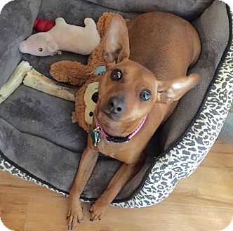 Miniature Pinscher Mix Dog for adoption in Los Angeles, California - Cute Ariel