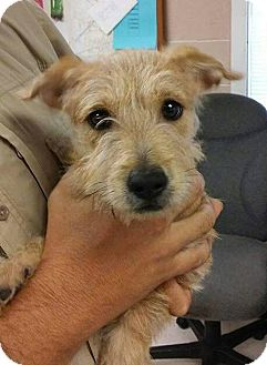 Scottie, Scottish Terrier/Cairn Terrier Mix Puppy for adoption in Albany, New York - Honey (adoption is pending)