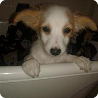 Adopt A Pet :: Bruce - Goodyear, AZ