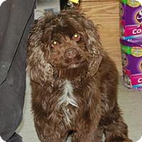 Adopt A Pet :: Brownie - Brooklyn, NY