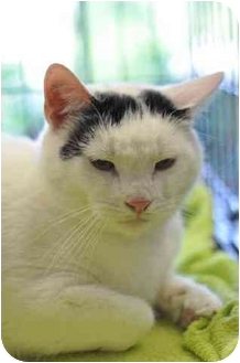 Domestic Shorthair Cat for adoption in Little Falls, New Jersey - Joey (SO)