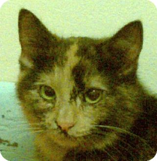 Domestic Shorthair Cat for adoption in New Market, Maryland - Gigi