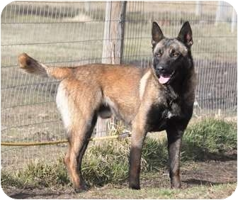 Belgian Malinois Dog for adoption in Hamilton, Montana - Kilo