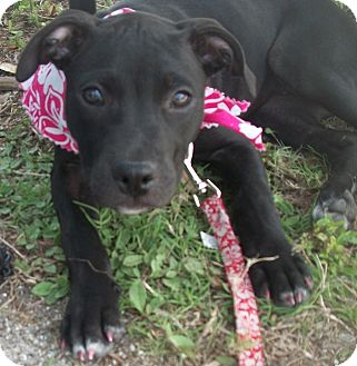 American Pit Bull Terrier/Hound (Unknown Type) Mix Puppy for adoption in Holmes Beach, Florida - Dorothy