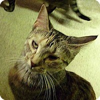Domestic Shorthair Cat for adoption in Whitewater, Wisconsin - Weber