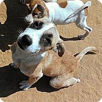 Adopt A Pet :: Talula - Austin, AR