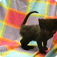 Domestic Shorthair Kitten for adoption in East Smithfield, Pennsylvania - Scott