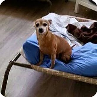 Chihuahua Dog for adoption in PT ORANGE, Florida - MIA