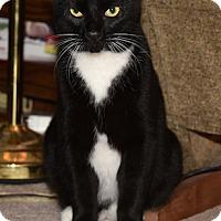 Adopt A Pet :: Pepper Jack (a/k/a Spats) - Fowlerville, MI
