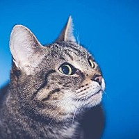 Domestic Shorthair Cat for adoption in Cincinnati, Ohio - zz 'TYGEES' courtesy post