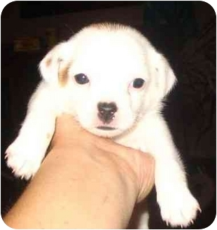 Jack Russell Terrier/Rat Terrier Mix Puppy for adoption in fallbrook, California - ELIZABETH