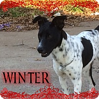 Pointer/German Shorthaired Pointer Mix Puppy for adoption in Houston, Texas - Winter