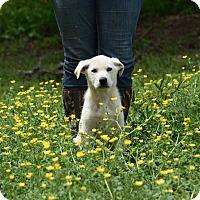 Adopt A Pet :: Bolt - Groton, MA