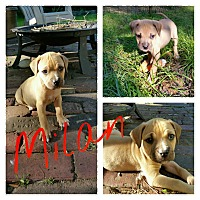 Adopt A Pet :: Milan - Gainesville, FL