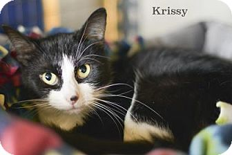 Domestic Mediumhair Cat for adoption in West Des Moines, Iowa - Krissy