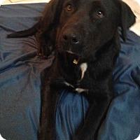 Labrador Retriever Mix Dog for adoption in E. Greenwhich, Rhode Island - Vilonia