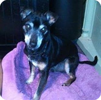Manchester Terrier Mix Dog for adoption in Hagerstown, Maryland - Rocky