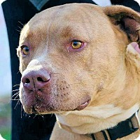 American Staffordshire Terrier Mix Dog for adoption in Cherry Hill, New Jersey - Blue
