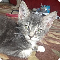 Domestic Shorthair Kitten for adoption in Tampa, Florida - Madison