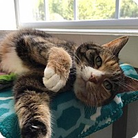 Domestic Shorthair Cat for adoption in Cumberland, Maine - Ducky