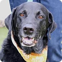 Labrador Retriever Dog for adoption in Wenatchee, Washington - Dash