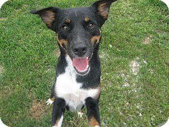 Australian Shepherd Dog for adoption in Huntley, Illinois - Lucee