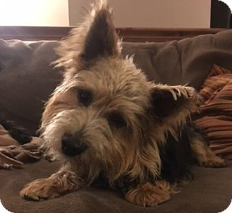 Norwich Terrier Dog for adoption in Omaha, Nebraska - Clark
