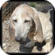 Basset Hound Dog for adoption in Marietta, Georgia - Primrose