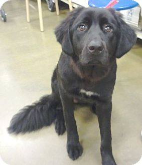 Labrador Retriever/Great Pyrenees Mix Dog for adoption in geneva, Florida - Kira