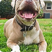 Pit Bull Terrier Dog for adoption in Dallas, Georgia - Clyde