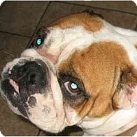 Adopt A Pet :: Petunia-Adoption Pending - San Diego, CA