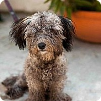 Adopt A Pet :: Shaggy - Santa Monica, CA