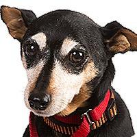 Adopt A Pet :: Little Man - Columbus, OH