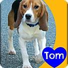Adopt A Pet :: Tom
