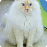 Domestic Mediumhair Cat for adoption in Walton County, Georgia - Yukon