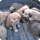 Adopt A Pet :: Shep Husky Litter