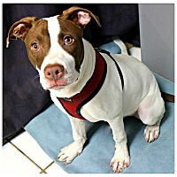 Adopt A Pet :: Patches - Forked River, NJ