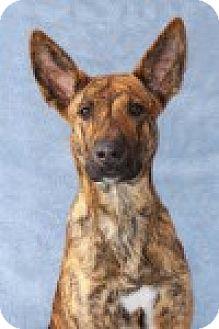 Encinitas, CA - Pharaoh Hound/Shepherd (Unknown Type) Mix ...