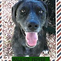 Adopt A Pet :: Sgt. Pepper (pom-Steve) - Brattleboro, VT